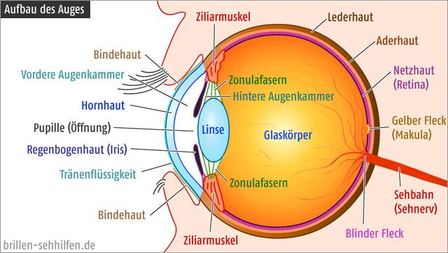 Bild zum Aufbau des Auges aus: www.brillen-sehhilfen.de