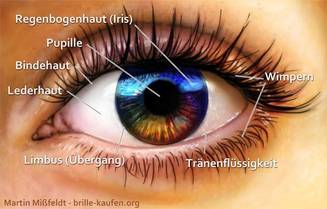 Aufbau des Auges von vorn