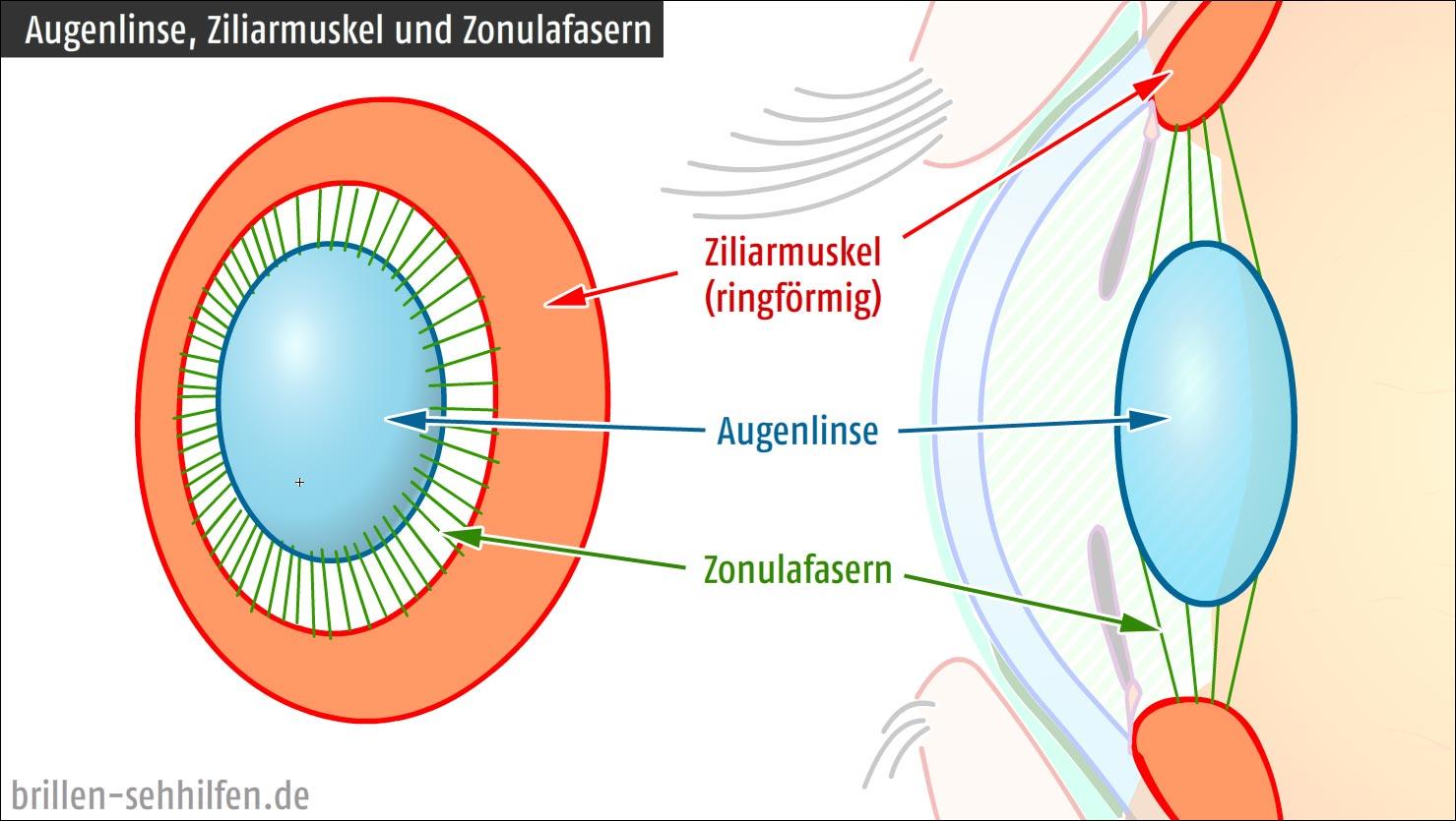 Die Augenlinse (Aufbau und Funktion)