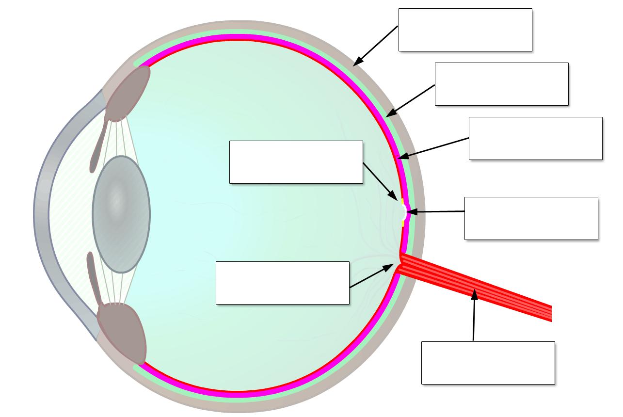 Auge Grundschule Arbeitsblatt Kostenlos : Netzhaut des auges retina aufbau und funktion