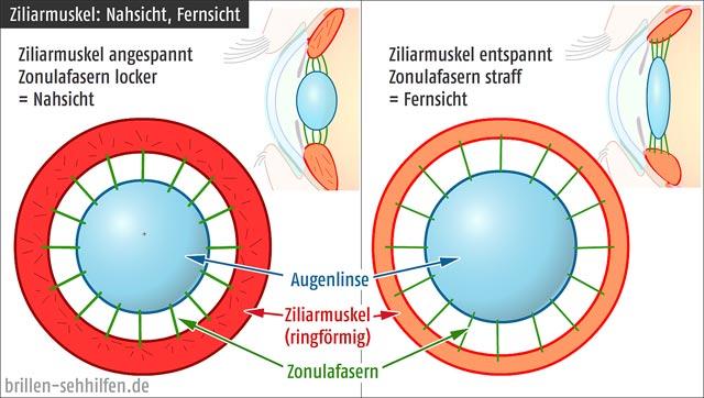 Der Ziliarmuskel (Auge)